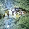 山口県下関市安岡漁港でカサゴ釣り